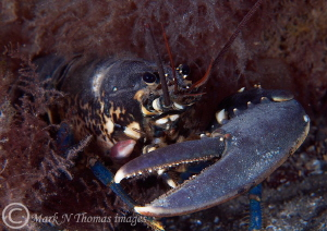One clawed lobster.